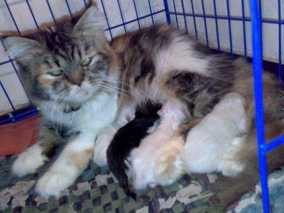 Cara Mengawinkan Kucing Persia 0psi WordPress